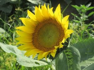 wsunflower
